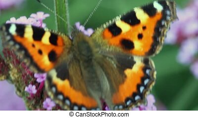 butterfly creeps on inflorescence flowers - orange-black...