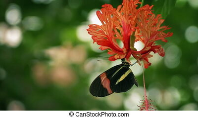 Butterfly Drinking Nectar From Exotic Flower - Butterfly...