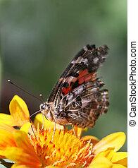 butterfly feeding 2