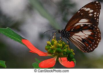 Butterfly Feeding - Common Australian Crow butterfly getting...
