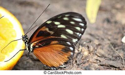 butterfly feeding with orange juice