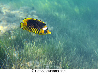 butterfly-fish over grass