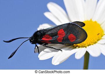 Butterfly Five-spot Burnet on daisy