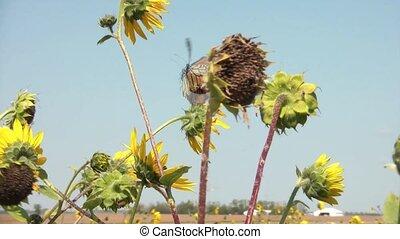 Butterfly Flying Away in Sunflowers