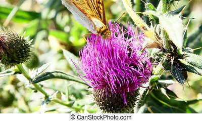 Butterfly gathering nectar from a flower(thistle).