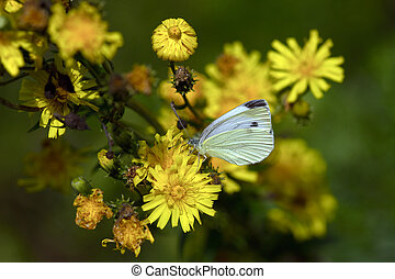 Butterfly (Gonepteryx rhamni) on yellow flower