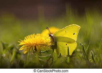 butterfly - Gonepteryx rhamni resting on a flower