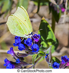 Butterfly Gonepteryx, the plant Pulmonaria dacica Simonk -...