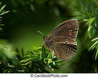 Butterfly grayling (Aphantopus hype