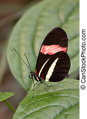 butterfly Heliconia melpomene resting on a leaf