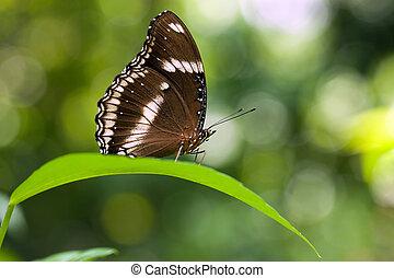 butterfly Hypolimnas bolina