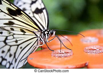 butterfly-idea, filipinas, leuconoe