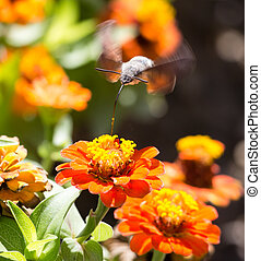 Butterfly in flight gathers nectar from flowers