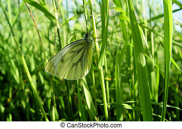 Butterfly in grasses