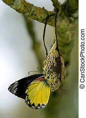 butterfly in the metamorphosis phase from it's cocoon