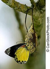 metamorphosis - butterfly in the metamorphosis phase from...