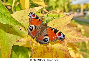 butterfly inachys io on leaf