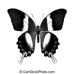 Butterfly, isolated on white - Butterfly , isolated on white