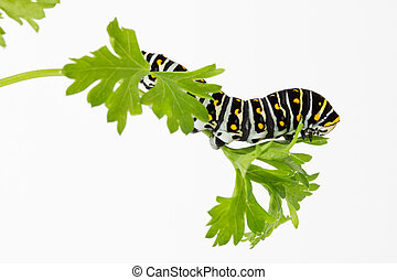 butterfly larva on parsley