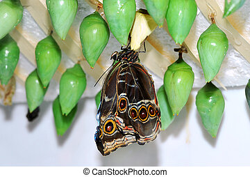 Butterfly Larva - Butterfly hatching from green cocoon.