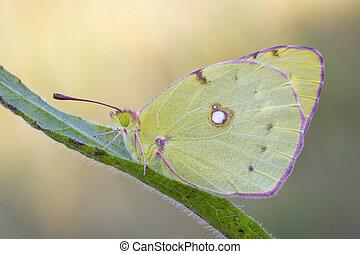 Butterfly, lemon
