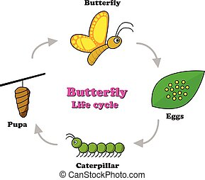 Butterfly life cycle in colorful style, vector