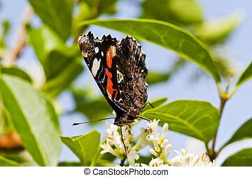butterfly looking for breakfast