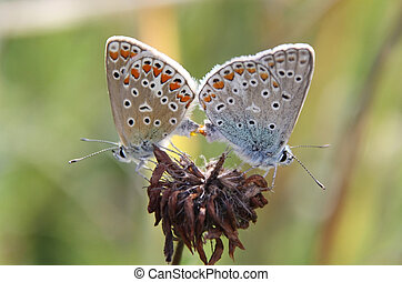 Butterfly Love - This image shows two butterfly in love