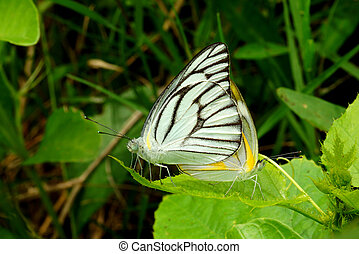 Butterfly mating
