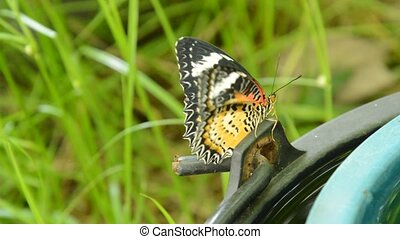 butterfly metamorphosis from cocoon and and climbing on...