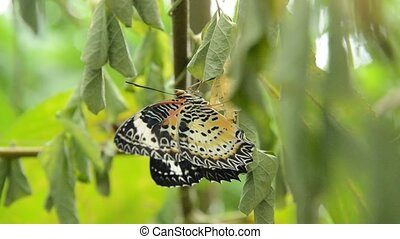butterfly metamorphosis from cocoon and flap wing prepare to...