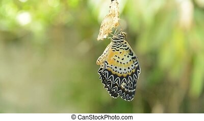 butterfly metamorphosis from cocoon and prepare to flying on...