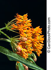 Butterfly Milkweed Against Black - Butterfly Milkweed or...