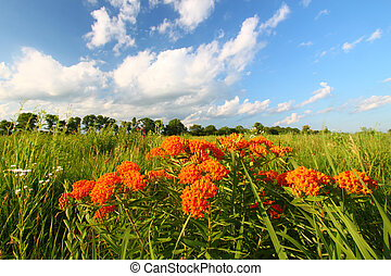 Butterfly Milkweed (Asclepias tuberosa) in a northern...