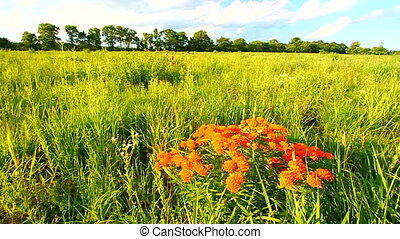 Butterfly Milkweed (Asclepias tuberosa) sways in the wind in...