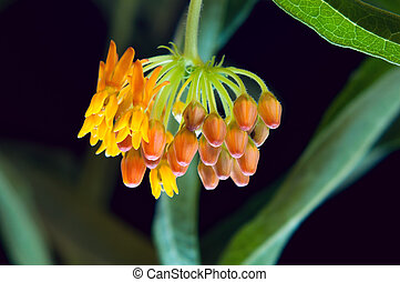 Butterfly Milkweed Blooms and Buds
