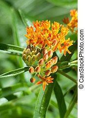 Butterfly Milkweed Flower and Foliage