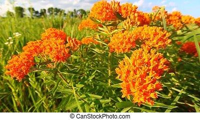 Butterfly Milkweed in Prairie - Butterfly Milkweed...