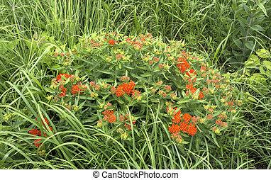 butterfly milkweed, orange blossoms