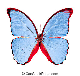 butterfly Morpho an isolated on white background