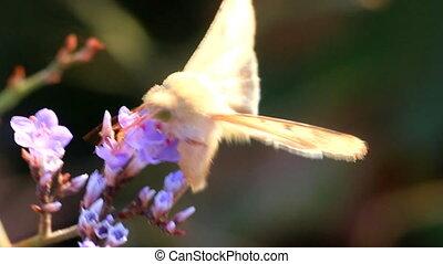 Butterfly moth proboscis drinking nectar from blue flowers of limonium