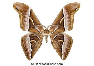 Butterfly moth species Samia kohlii in high definition...