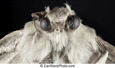 Butterfly Moth - Portait of Night Moth Butterfly