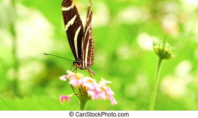 butterfly., -, mouvement, lent, zebra, hd