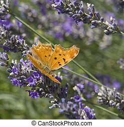 "butterfly named ""Southern Comma"" in floral ambiance"