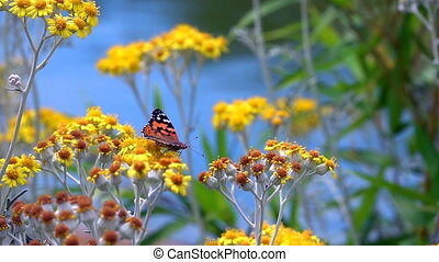 Butterfly named Vanessa Cardui on Yellow Flowers in Nature...