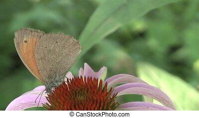butterfly nectar sobirat.