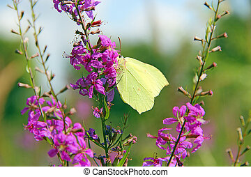 Gonepteryx rhamni collecting nectar from flowers of...