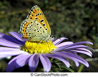 butterfly on a aster
