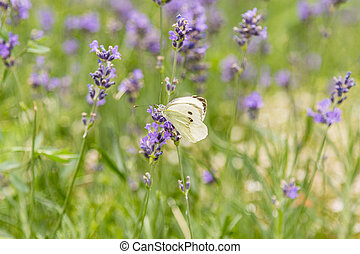 Butterfly on a background of lavender flowers. Bright summer background. White butterfly on lavender flowers